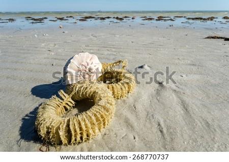 Lighting Whelk Egg Case and Shell on the Beach - stock photo