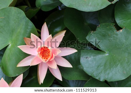 lightpink lotus blooming in the pond. - stock photo