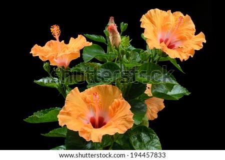 Ligth Orange Hibiscus on black background - stock photo