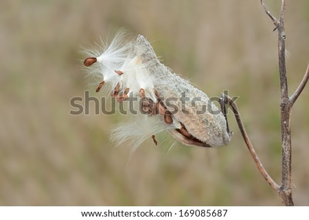 Like fireworks exploding in the night sky, a milkweed pod explodes on the open prairie. Soft feathery seeds float away with hope of creating new flowers in the grassland. - stock photo