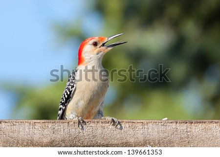 Like Kilroy peering over a wall, a red bellied woodpecker peers over the edge of a bird feeder.  With its black beak open, the bird cautiously looks over the forest before snatching a safflower treat. - stock photo