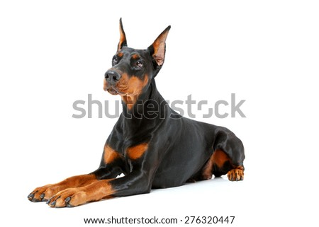 Like sphinx. Dog lying on white isolated background and fixedly looking forward. - stock photo