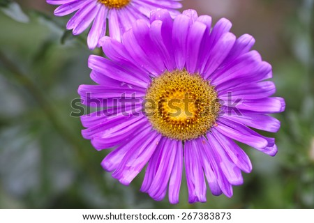 Lilac aster  after rain. Nature background. - stock photo