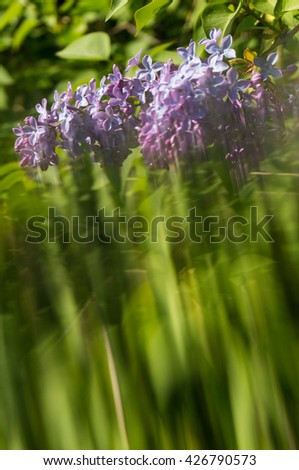 Lilac blooms. A beautiful bunch of lilac closeup. Lilac Flowering. Lilac Bush Bloom. Lilac flowers in the garden. - stock photo