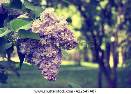 Lilac blooms. A beautiful bunch of lilac closeup. Lilac Flowering. Lilac flowers in the garden. Vintage style. - stock photo