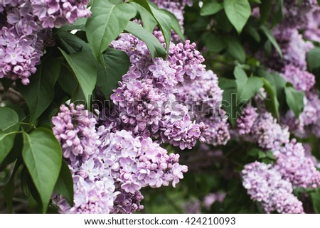 Lilac blooms. Lilac Flowering. Lilac Bush Bloom. Lilac flowers in the garden. - stock photo