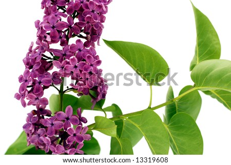 Lilac branch isolated on white - stock photo