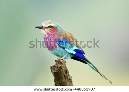 Lilac-breasted Roller (Coracias caudata) outdoor - stock photo