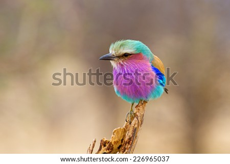 Lilac Breasted Roller Perched - stock photo