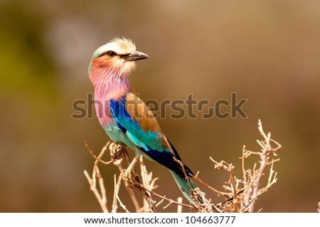 Lilac Breasted Roller posing on branch on safari. - stock photo