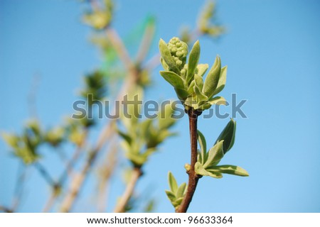 Lilac buds and leafs in springtime. - stock photo