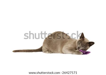 Lilac Burmese playing with cat nip bag - stock photo