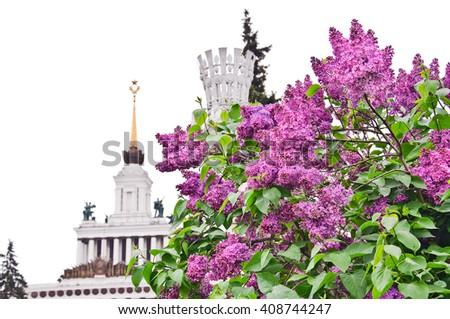 Lilac Bush at ENEA isolated on white background - stock photo