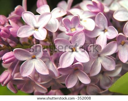 Lilac close-up - stock photo