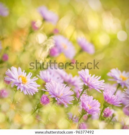 Lilac daisy flowers over green defocused natural background in sunny day. Selective focus. Postcard - stock photo