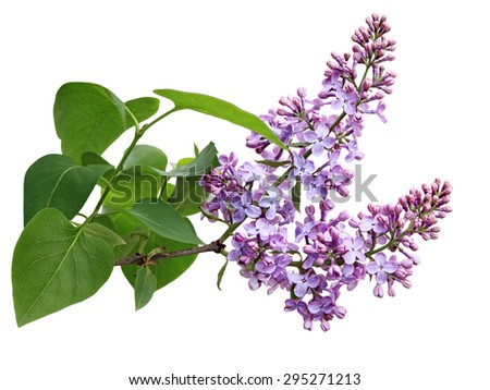 Lilac flower blooming on branch isolated over white background - stock photo