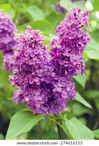 Lilac flower blossoming branch in spring - stock photo
