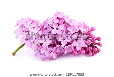 Lilac flower bunch isolated on white background . - stock photo