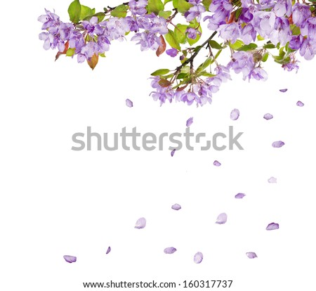 lilac flower tree branches and falling petals isolated on white background - stock photo