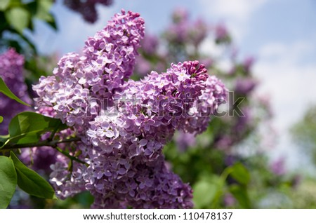 Lilac flowering - stock photo