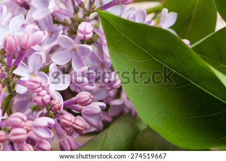 Lilac flowers and leaves. - stock photo