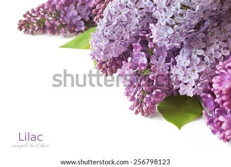 Lilac flowers bunch isolated on white background with sample text - stock photo