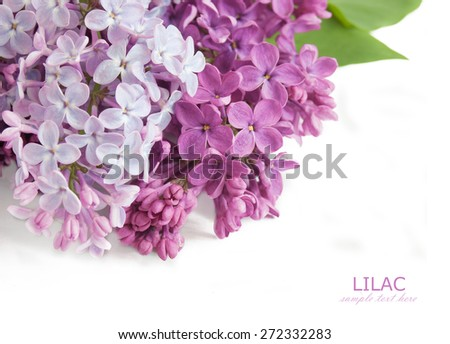 Lilac flowers isolated on white background with sample text - stock photo