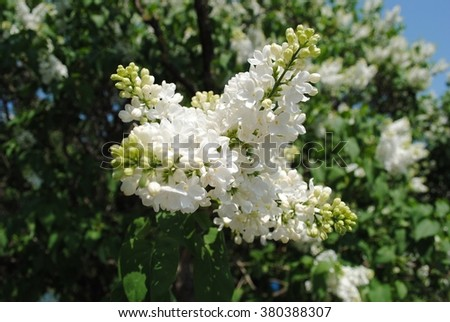 Lilac flowers JPEG. Lilac flowers Picture. Lilac flowers Image. Lilac flowers Graphic. Lilac flowers Art. Lilac flowers JPG.  - stock photo