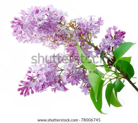 Lilac flowers on a white background, isolated. - stock photo