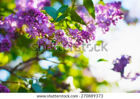 Lilac flowers on branch with leaves. Selective focus, blurred bokeh background. - stock photo