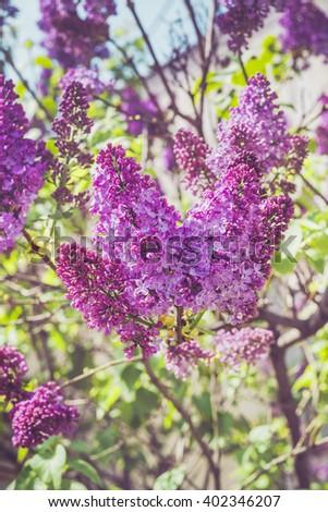 Lilac flowers on tree in garden. Lilacs in garden. - stock photo
