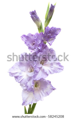 lilac gladiolus isolated on white - stock photo
