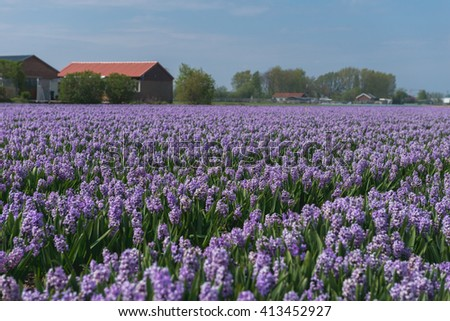 lilac hyacinths field in North Holland during spring - stock photo