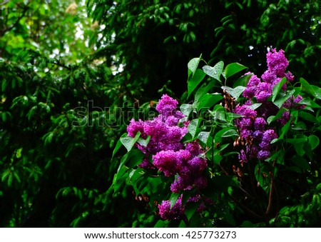 Lilac in the spring garden bloom nature season flower flora floristics botany plant trees - stock photo