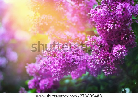 Lilac inflorescence in spring garden. Magnificent nature beauty.  - stock photo
