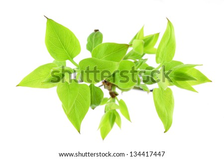 Lilac leaves bud isolated on white background - stock photo