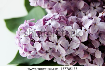 Lilac on a white background - stock photo
