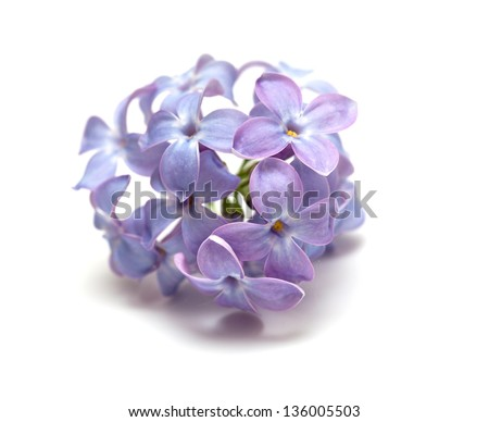 lilac over white - stock photo