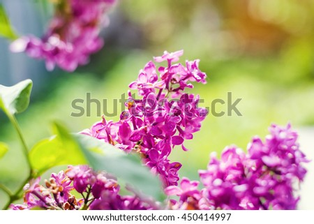 Lilac. Purple Lilac. Bouquet of purple lilacs. Beautiful flowers of lilac - close up. Toned Photo - stock photo
