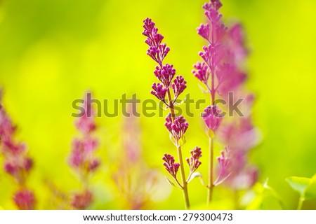 Lilac (Purple Syringa) start to bloom. Selective focus. Shallow depth of field (dof). - stock photo