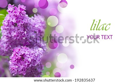 lilac tree branch with beautiful purple flowers - stock photo