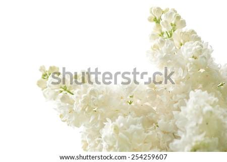 Lilac white isolated flowers bloom bright inflorescence grow in garden, ornamental shrub zoom vibrant flowering Syringa vulgaris in spring season, beautiful flowers nature detail, horizontal, nobody. - stock photo
