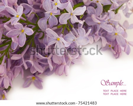 lilac with the place for  your text - stock photo