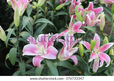 Lilies flowers - Lily - stock photo