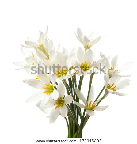 lilies isolated on a white background. white rain lily  (zephyranthes candida) - stock photo