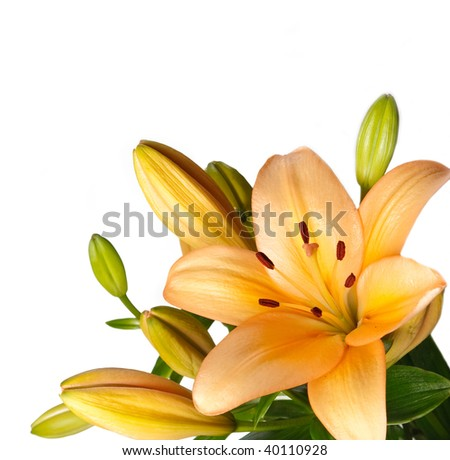 Lilies isolated over white background - stock photo