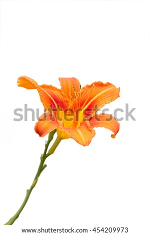 Lilium bulbiferum isolate on white background with clipping path - stock photo