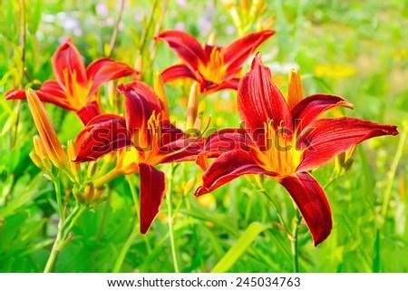 Lilium flower in garden, close up view, selective focus - stock photo