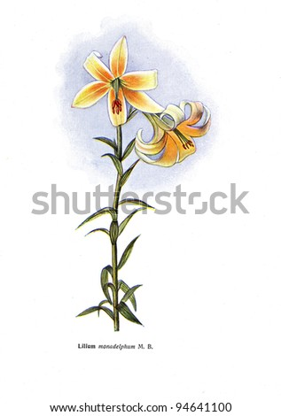 """Lilium monadeplphum M B - an illustration from the book """"Species of flowers bulbes of the Soviet Union"""", Moscow, 1935 - stock photo"""