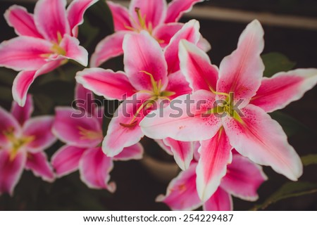"Lilium ""Stargazer"" (the Stargazer lily) is a hybrid lily of the Oriental group - stock photo"